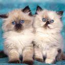 Mačke download besplatne pozadine slike za mobitele