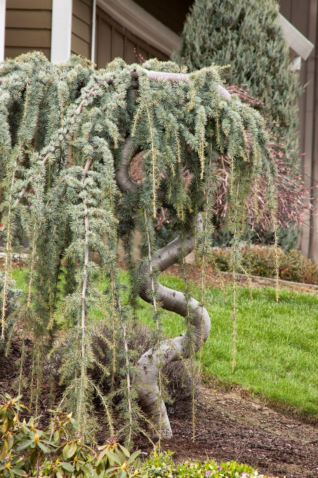Amazon Weeping Blue Atlas Cedar 2 Year Live Tree Tree  - weeping blue atlas cedar