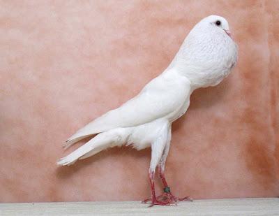 pouter pigeons - cropper