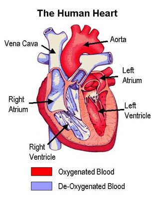Organs n Body Parts Heart  Pictorial Representations