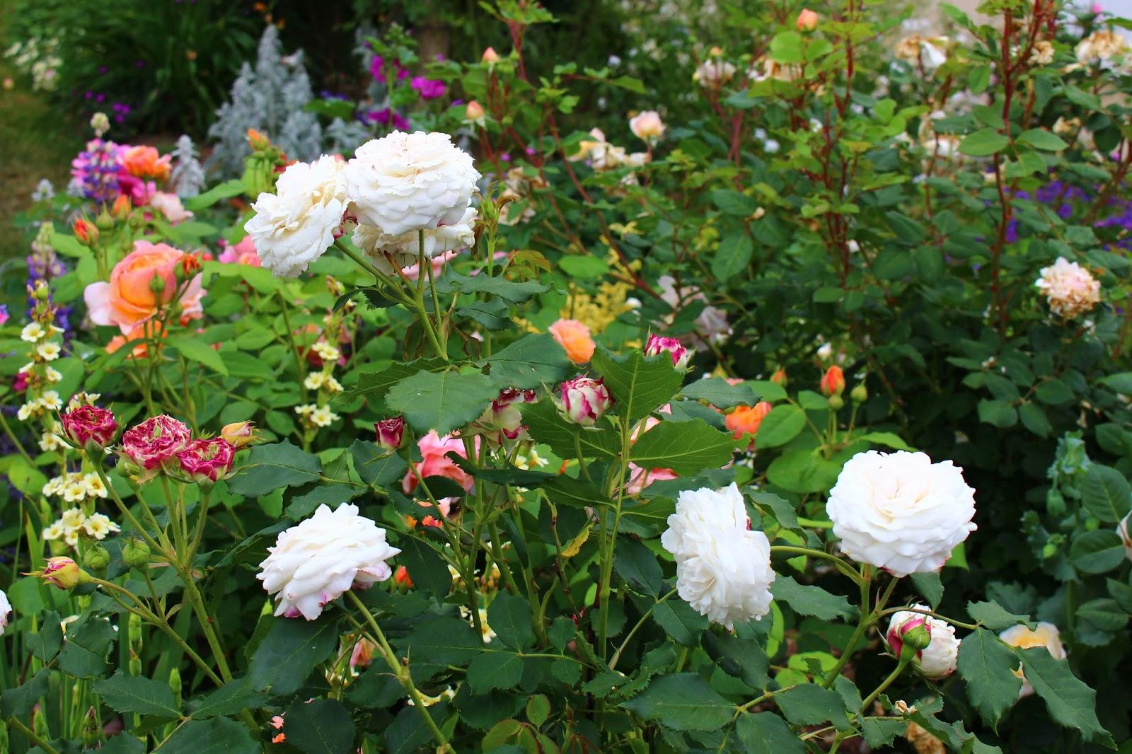 """roses du jardin chêneland: rosier """"boule de neige"""""""