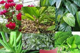 Tanaman obat herbal untuk keputihan