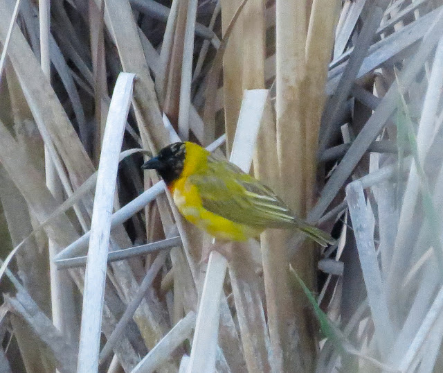 Black-headed Weaver - Portugal