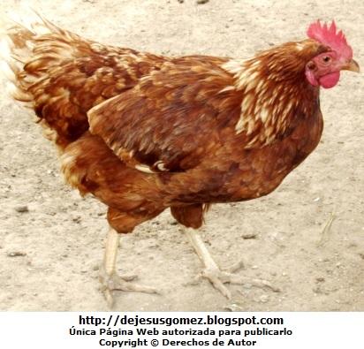 Foto de una gallina colorada  (Gallina del Zoológico de Huachipa). Foto de gallina tomada por Jesus Gómez