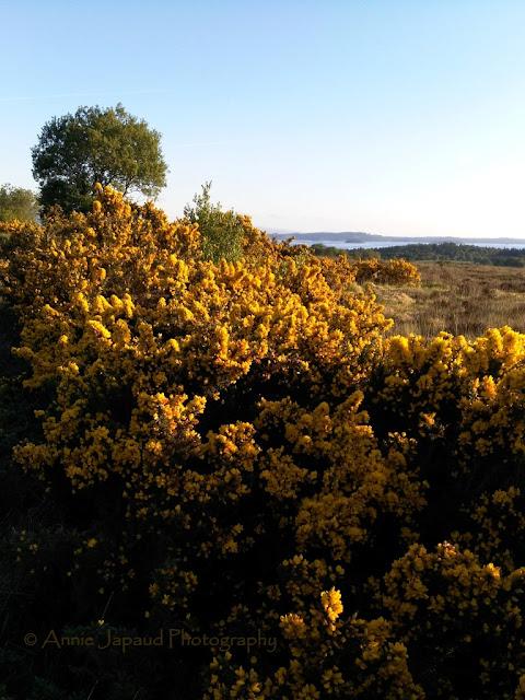 gorse landscape, Connemara