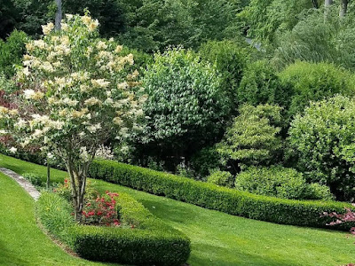 Ivory Silk Tree Lilac - A Great Small Tree