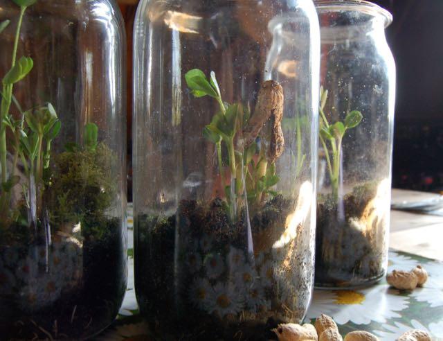peanut growing in jar