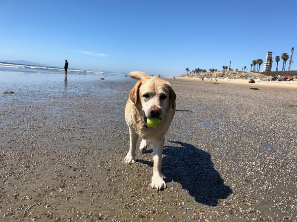 10-year-old Labrador Huntington Beach