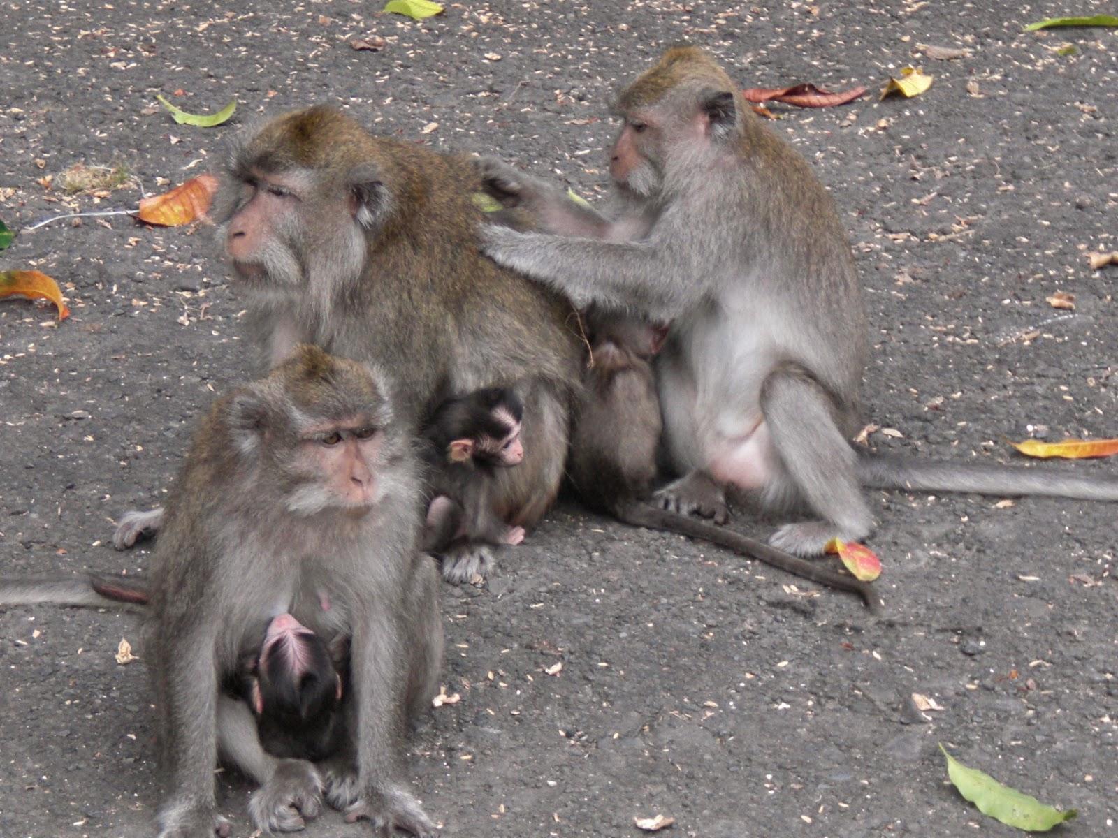 Monyet Bali Sedang Mencari Kutu Ala Urang