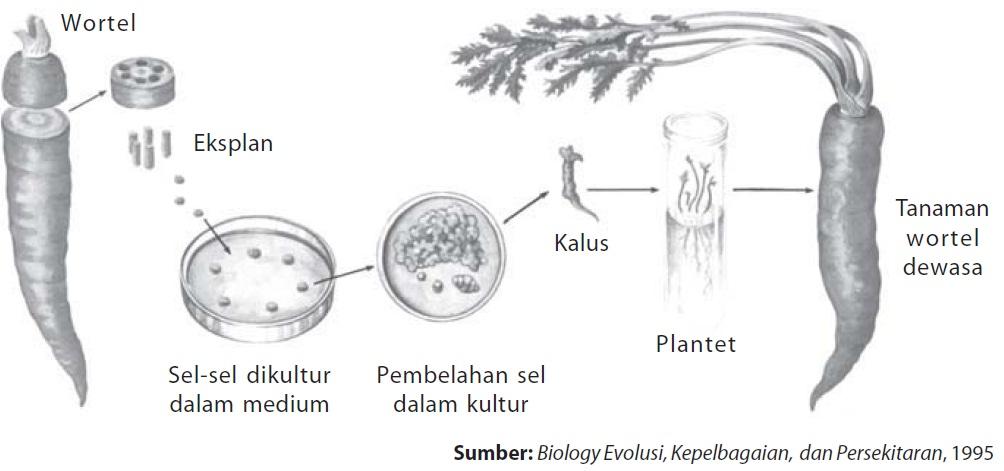 Sifat totipotensi pada tumbuhan mahkota sains pengetahuan tentang jaringan tumbuhan dapat diaplikasikan untuk perbanyakan tanaman misalnya melalui setek dan cangkok lebih lanjutnya pengetahuan ccuart Choice Image