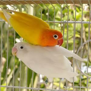 Unduh 880+ Foto Gambar Burung Lovebird Romantis  Paling Keren Free