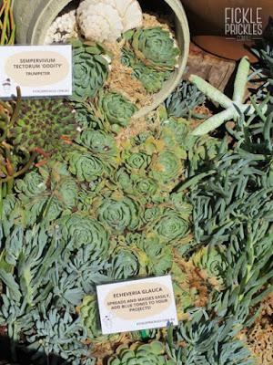 Succulent pot spill - Echeveria glauca