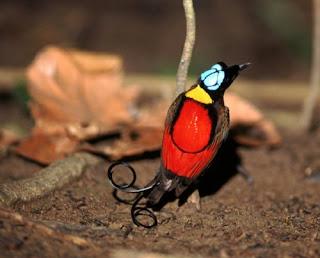 Wilson's Bird of Paradise (Cicinnurus respublica)