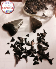 Collection of shark teeth that I sometimes use in my classroom! We actually picked these up on the beach!