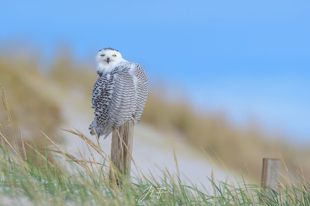 wildlife faune sauvage oiseau bird animal wild quebec canada photography jérémie leblond-fontaine harfang des neiges hiboux moyen duc snowy owl long eared owl great horned owl grand-duc d'amérique