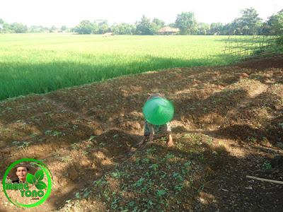 Penyiangan terhadap rumput dan penutupan rongga tanah disekitar lubang tanam menggunakan kored / cangkul kecil