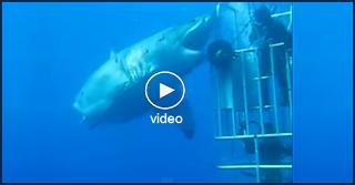Ο Μεγαλύτερος Λευκός Καρχαρίας που Έχει Καταγραφεί σε Βίντεο - Deep Blue