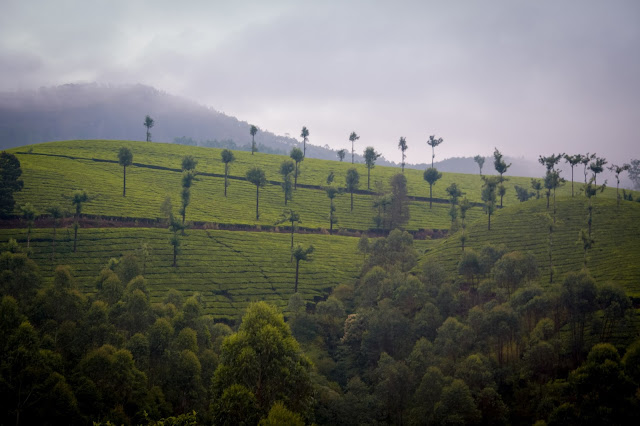Tons of shades of green in Munnar, Kerala