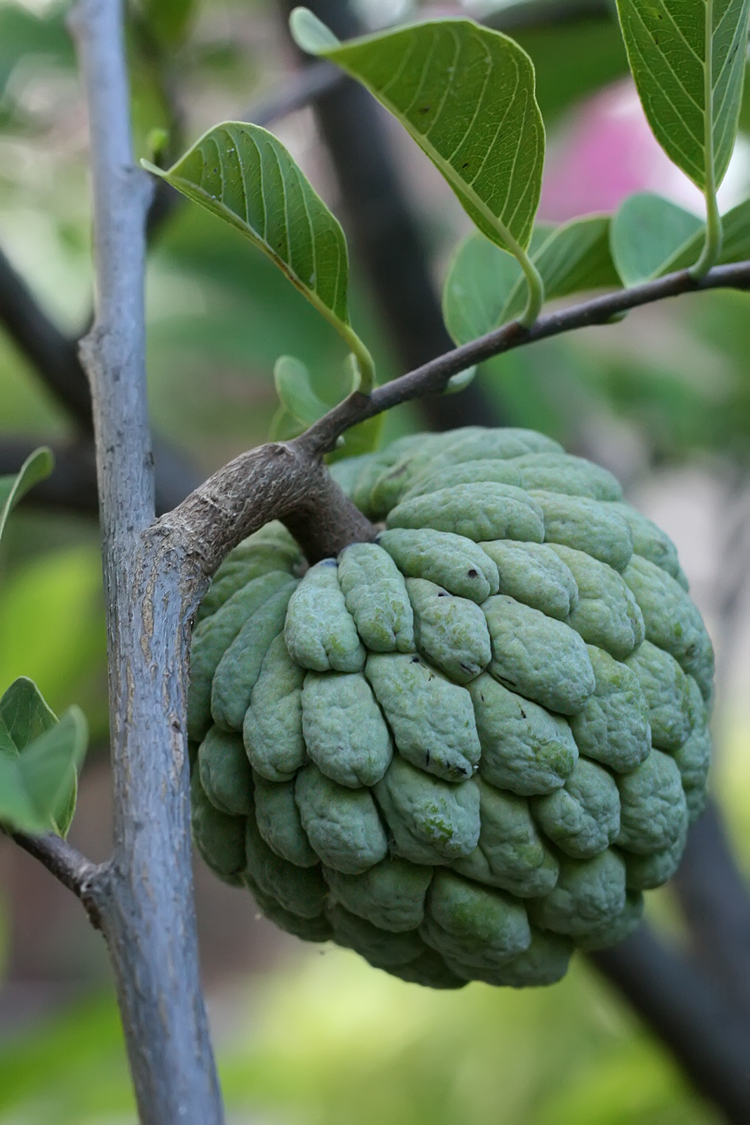 The Produce Savant: Yet another reason to go to Brazil ...