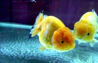 Mengenal jenis Ikan Mas Koki Oranda