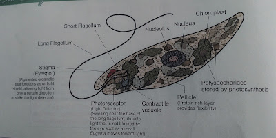 Euglena picture