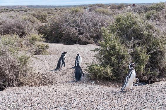 Paseando entre pingüinos. Puerto Madryn. Argentina