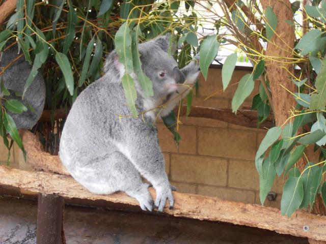 Koala comiendo eucalipto
