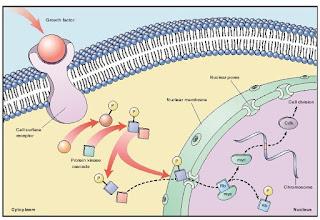 growth factor, protein cdk, pengaturan pembelahan sel pada eukariotik