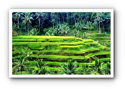 hektar sawah