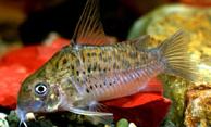 Jenis Ikan Corydoras armatus