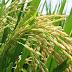 El IRRI y la FAO estrechan su cooperación a favor de la producción sostenible de arroz