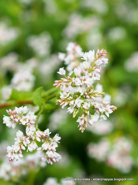 kwiaty gryki, pole gryki, gryczane kwiatki, kasz gryczana, rosliny, podlasie, pole uprawne, uprawy, rosliny jadalne