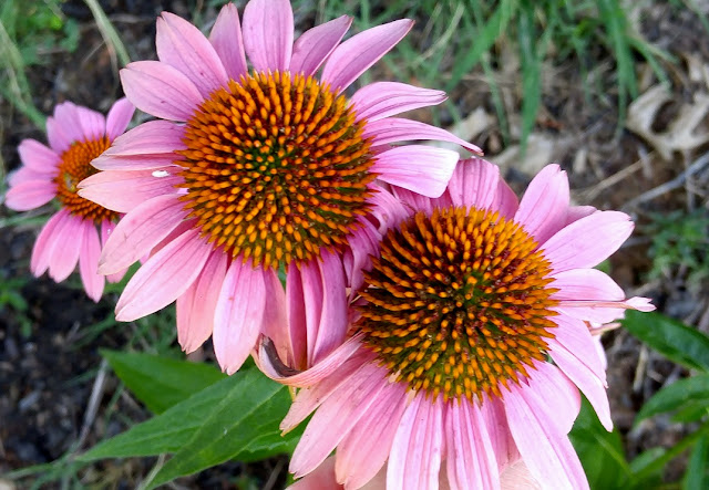 Coneflowers do well in southern gardens