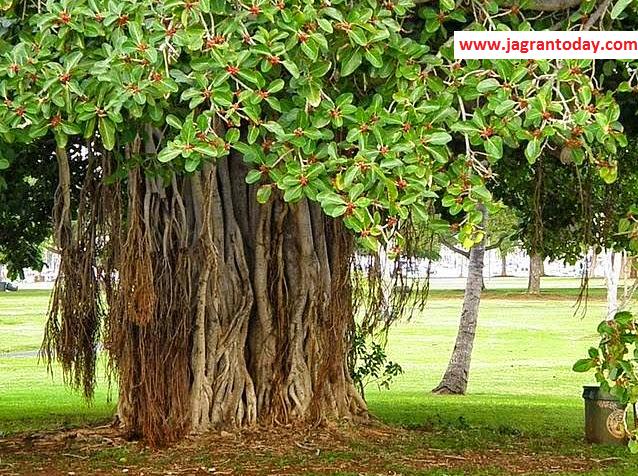 बरगद का पेड़ करें रोगों का नाश