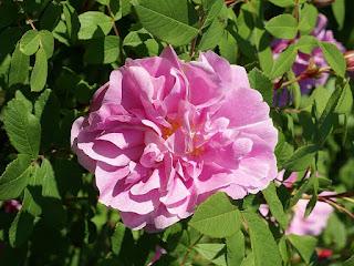 Rosa x 'Thérèse Bugnet'