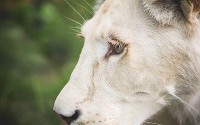 white lion eye widescreen hd wallpaper