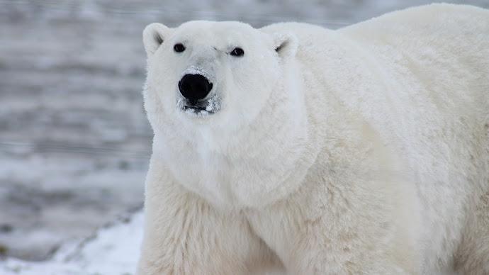 Wallpaper: Polar Bear Portrait
