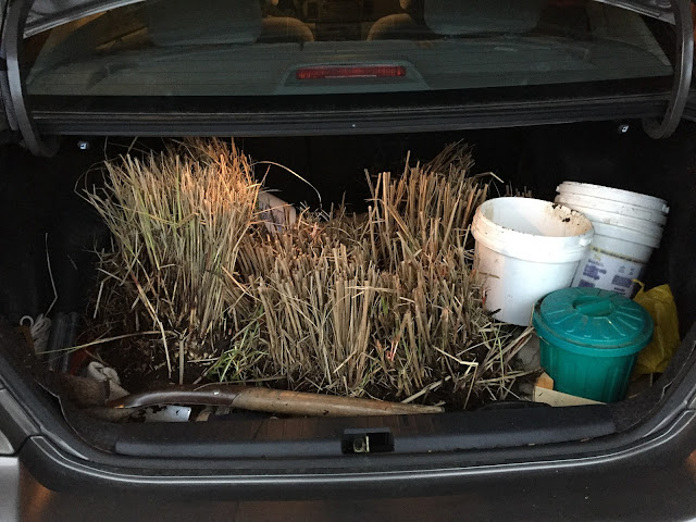 ornamental grass in trunk of car