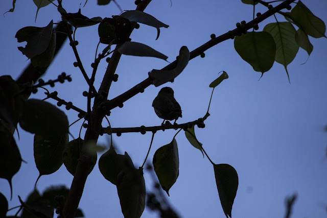 coppersmith barbet, bird, silhouette, blue sky, bandra east, skywatch, mumbai, india, berries, tree,