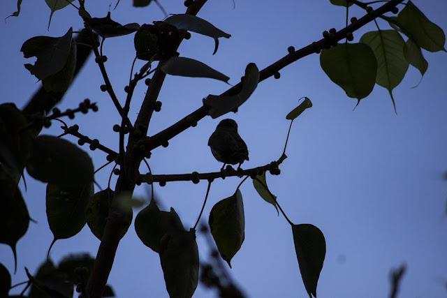 coppersmith barbet, bird, silhouette, blue sky, bandra east, skywatch, mumbai, india, berries, tree,