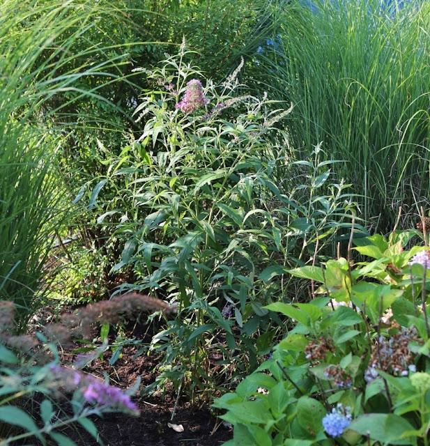 Rattlebridge Farm Butterfly Bushes in the Memory Garden