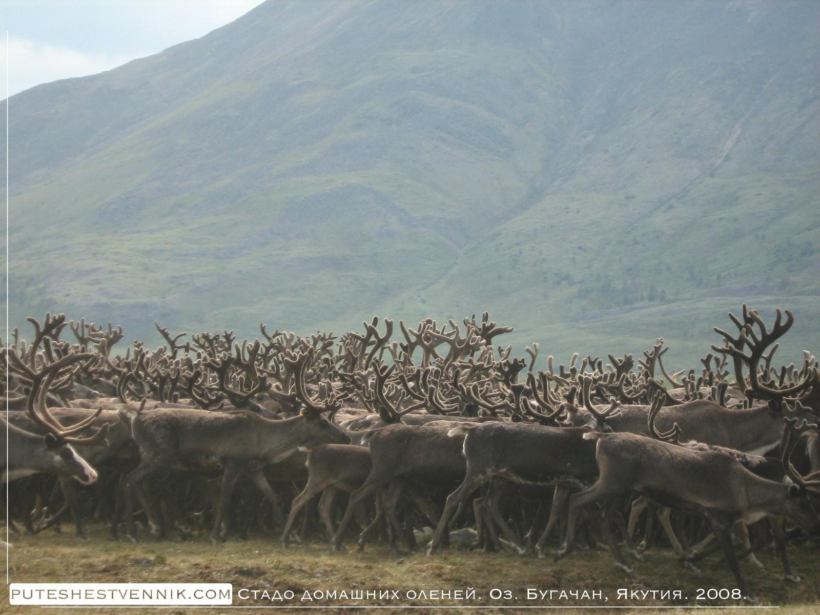 Стадо оленей в Якутии