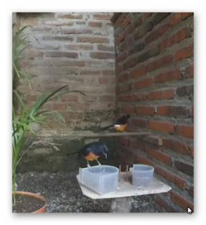 video ternak murai batu