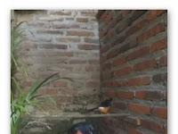 Video ternak murai batu system baru : poligami 1 murai batu jantan dengan 4 murai batu betina