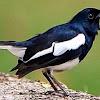 Solusi Dan Mencegah Terjadi Stres Pada Burung Kacer