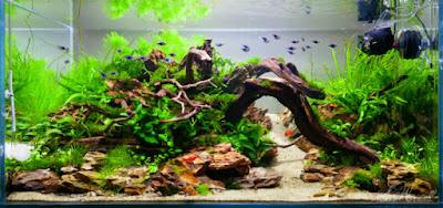 Ukuran akuarium ikan guppy