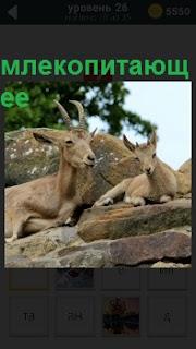 Среди больших камней, на одном из них сидит млекопитающее коза с бородкой и рядом маленькая козочка