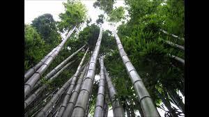 Mti wa ajabu, chinnese bamboo tree huota futi 80 kwa wiki 6 tu