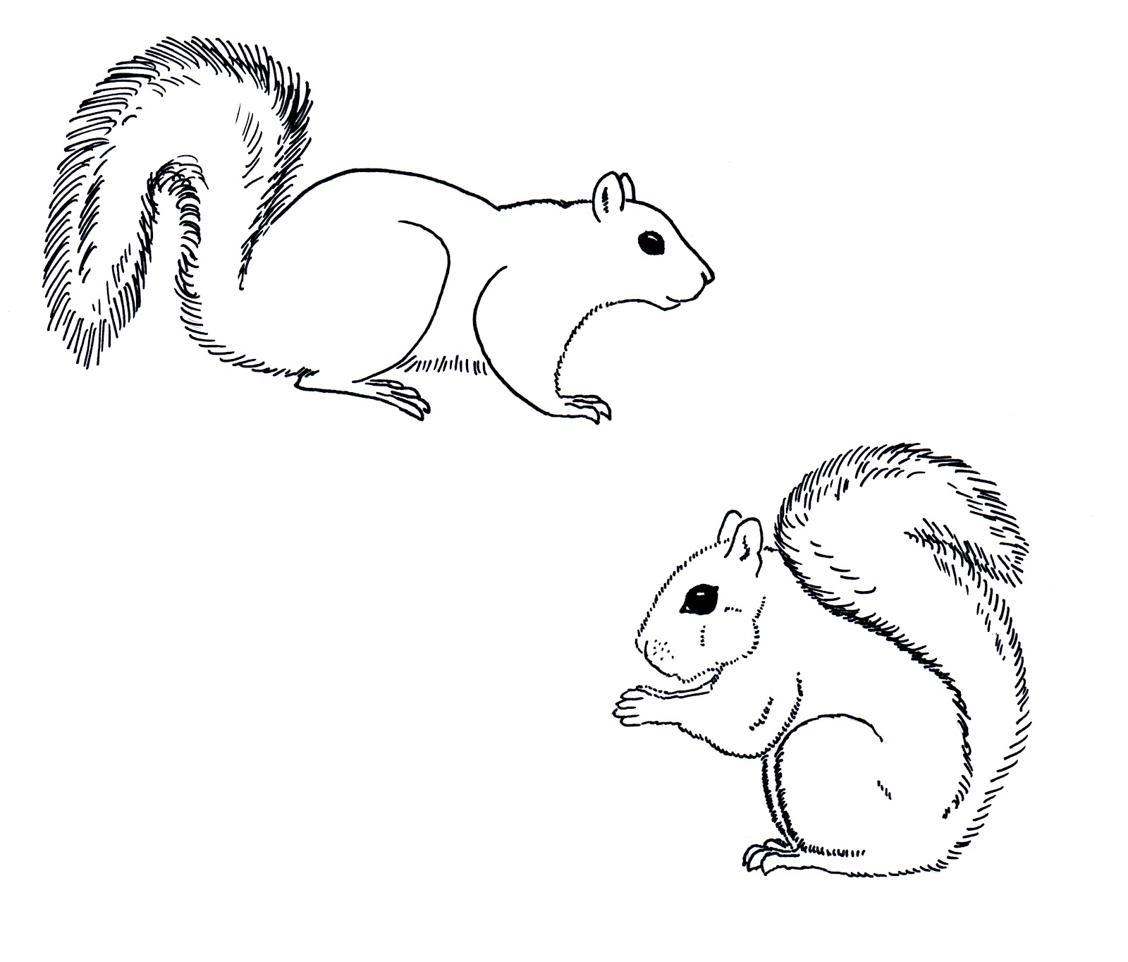 Chuck Does Art: Coloring Sheets: Grey Squirrels