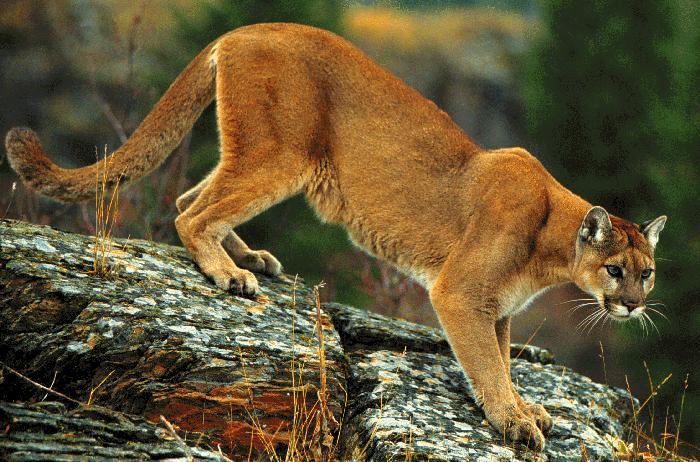 Cougars in nebraska